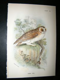 Allen 1890's Antique Bird Print. Barn Owl